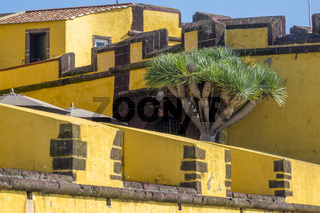Dragon Tree (Dracaena) Growing In The Fortress Madeira Portugal