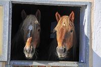 Pferde (Equus ferus caballus) schauen aus der Box nach draussen, Ostern, Füssen, Deutschland, Europa