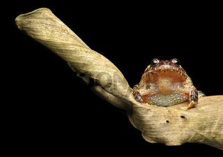 Neotropischer Frosch (Strabomantis sulcatus)