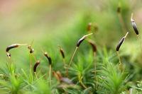 Moossamen im Herbst
