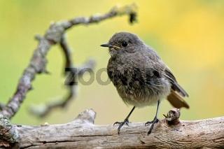 Junveniler  Gartenrotschwanz