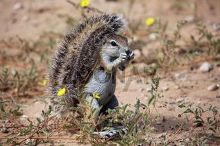Ground squirrel in kgalagadi transfrontier park