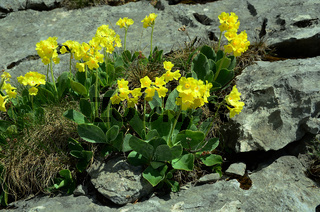 Alpenaurikel; primula auricula;