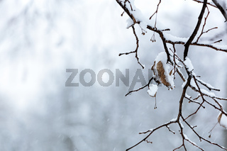 branch with dry leaf in snowfall