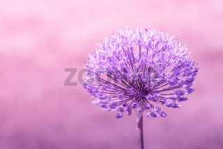 Allium Giganteum in violet colors