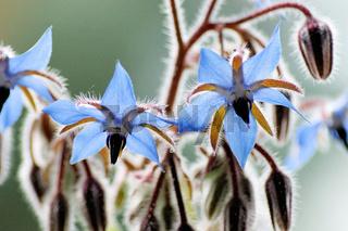 Borretsch (Borago officinalis) Blüten und Knospen