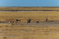 Group gemsbok