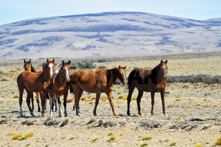 Herd of mustangs magnificent bay