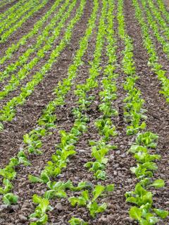 Acker mit Reihen von Salat als Hintergrund