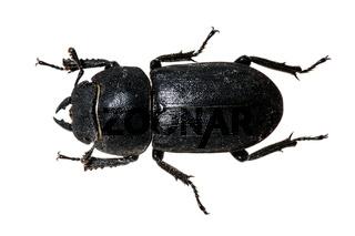 Balkenschröter, schwarzer Käfer
