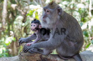 Mother and baby monkey in Ubud Sacred Monkey Forest on Bali