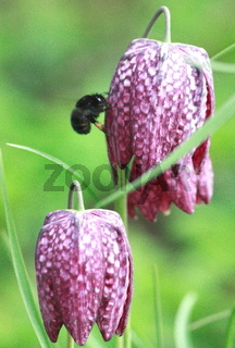 rote schachbrettblume mit hummel