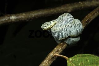 Jungtier der giftigen Amazonas Lanzenotter (Bothriopsis bilineata)