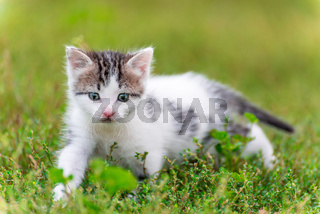 Spotted kitten walk in the grass at garden