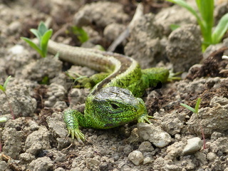 Reptile, sand lizard in the Sun