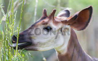 Close-up of an okapi eating