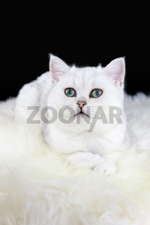 Young black silver shaded cat lying on white sheepskin