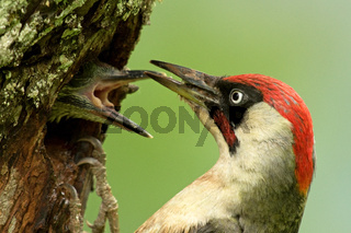 Grünspechtmännchen am Nest mit Jungvogel