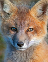 Fox Kit Closeup