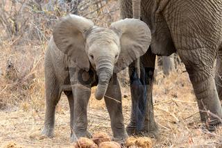 young elephant at kruger national park