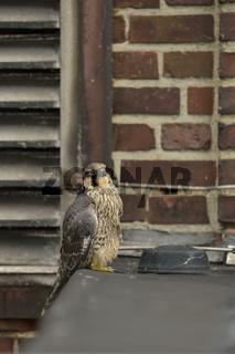 Industriegemäuer... Wanderfalke *Falco peregrinus*