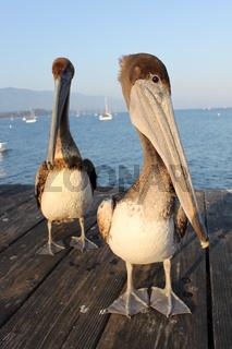 Kaliforniesche Pelikane