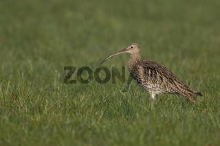 Vogel des Jahres 1982... Großer Brachvogel *Numenius arquata*