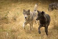 Coastal Wolves