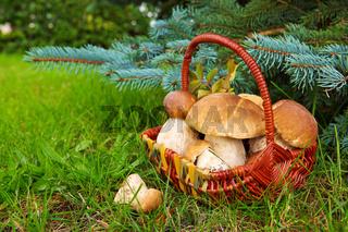 Fresh porcini mushrooms in autumn forest.