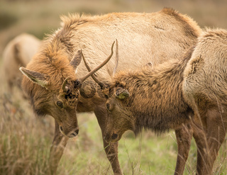 Elk, Juvenile Male, Color Image, California, USA