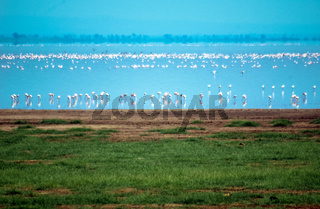 Pink flamingos, Tanzania