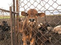 Captive calf behind the fence