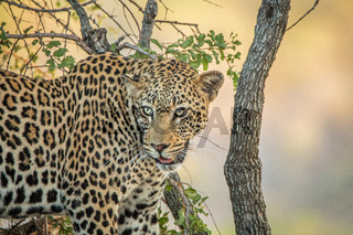 Leopard in a tree in the Kruger National Park.