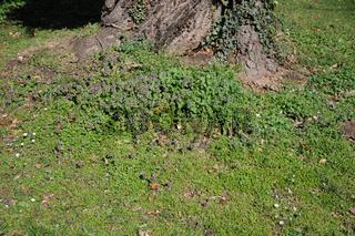 Lamium purpureum, Stellaria media