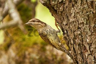 Wendehals  am Nest