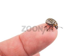 Colorado potato beetle on a finger