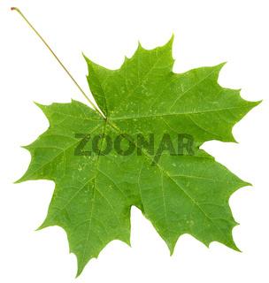 fresh green maple leaf isolated on white