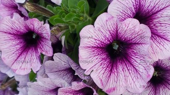 Calibrachoa-Hybriden Petunien