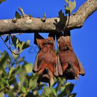 Sleeping couple of fruit bats