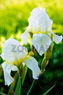 White  Iris flowers in the garden.