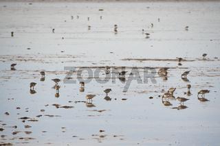 Sanderlings feeding on shore