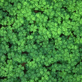 Four-leaf clover field for background.