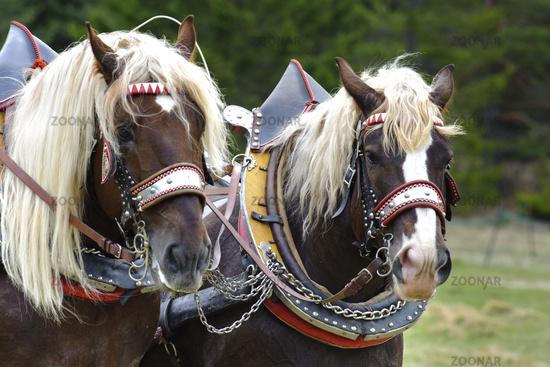 Pferde auf dem Georgiritt in Mittenwald