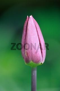 Tulpenknospe, purpur, spitz zulaufend