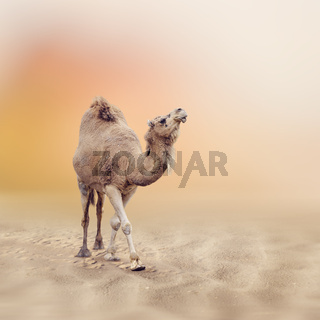 Single-Humped Camel