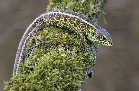 Zauneidechsen koennen bis zu 25cm lang werden - (Foto vom Maennchen) / Sand Lizard can reach up to 25cm - (Photo from a male) / Lacerta agilis