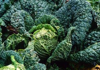 Wirsing, Brassica oleracea convar. capitata var. sabauda L.,
