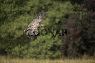 Kontrollflug... Seeadler *Haliaeetus albicilla*