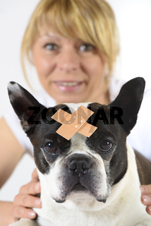 Boston Terrier beim Tierazt mit Wundverband