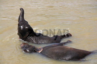 junger Elefant beim baden in Sri Lanka